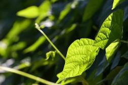Critère qualité N°2 : semence protégée, sélectionnée et certifiée