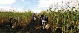 culture de haricot tarbais : ramassage